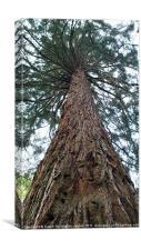 Giant Sierra Redwood tree, Canvas Print