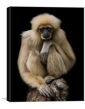 Lar Gibbon, Canvas Print