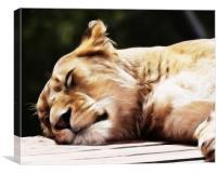 Sleeping Lioness, Canvas Print