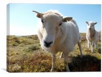 Curious sheep, Canvas Print