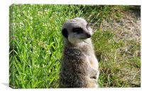 Standing meerkat, Canvas Print