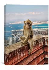 Gibraltar Barbary Macaques Monkey, Canvas Print