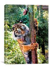 Tiger Feeding time, Canvas Print