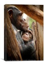 Chimpanzee Love, Canvas Print