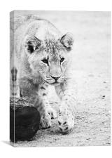 Lion cub on the prowl, Canvas Print