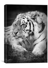 Tiger sticking its tongue out, Canvas Print