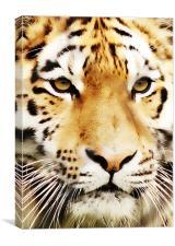 Tiger Close Up, Canvas Print