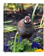Garden partridge