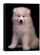 Samoyed 4, Canvas Print