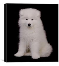 Samoyed 5, Canvas Print