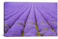 Lavender Fields Kent, Canvas Print