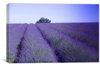 Lavender Fields Snowshill Cotswold