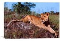 Lion Resting on Rock, Canvas Print