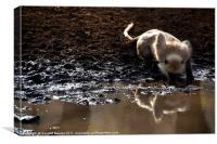 Langur Monkey at Waterhole Ranthambore, Canvas Print