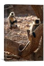 Langur Monkey in Tree Ranthambore, Canvas Print