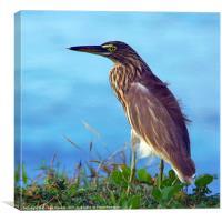 Pond Heron on Grass Varkala, Canvas Print