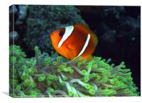 Anemone Fish in Anemone, Canvas Print