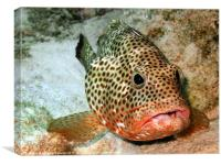 Coral Grouper Fish Being Cleaned, Canvas Print