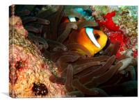 Clown fish in Hiding, Canvas Print