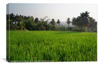 Rice Paddy Field Hampi, Canvas Print
