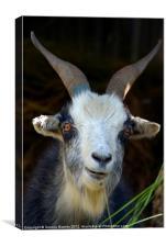Curious Goat en route to Ghorepani, Canvas Print