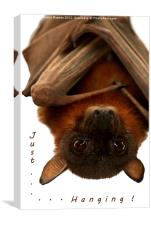 Just Hanging - Little Red Flying Fox, Canvas Print