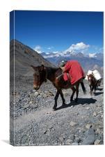 Mules Climbing Thorung La, Annapurna Circuit Nepal, Canvas Print