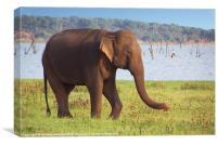 Elephant by the Lake Kaudulla, Sri Lanka, Canvas Print