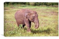 Young Elephant Eating Kaudulla, Sri Lanka, Canvas Print