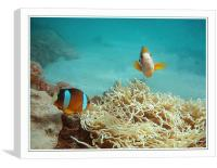 Clown Fish at Play, Canvas Print