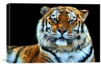 Majestic Sumatran Tiger, Canvas Print