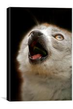 Singing Crowned Lemur, Canvas Print