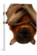 Little Red Flying Fox, Canvas Print