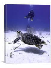 Divers Watching Hawksbill Turtle, Canvas Print