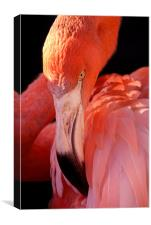 Cuban Flamingo Grooming, Canvas Print