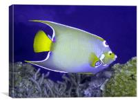 Queen Angel fish From Side, Canvas Print