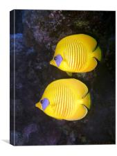 Pair of Yellow Butterflyfish, Canvas Print