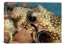 Stars and Stripes Pufferfish Being Cleaned, Canvas Print