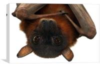 Little Red Flying Fox Hanging Out, Canvas Print