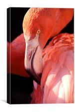 Cuban Flamingo, Canvas Print