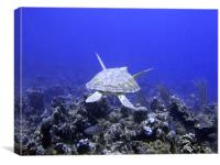 Green Turtle Swimming, Canvas Print