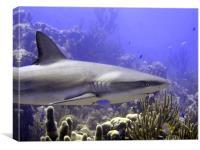 Shark Swimming Past, Canvas Print