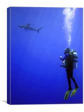 Watching the Oceanic Whitetip Shark