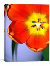 Dazzling Orange Tulip, Canvas Print