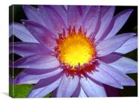 Cape Blue Water Lily, Canvas Print