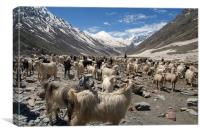 Sheep and Goats in Lahaul Valley, Canvas Print