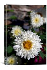 Daisies in Pisang, Canvas Print