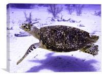 Swimming Hawksbill Turtle, Canvas Print