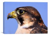 Lanner Falcon's Profile, Canvas Print