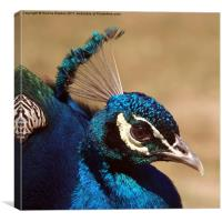 Indian Peacock Headshot, Canvas Print